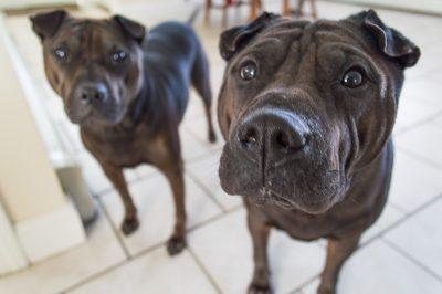 Roedelfase - Opvoeding van uw pup
